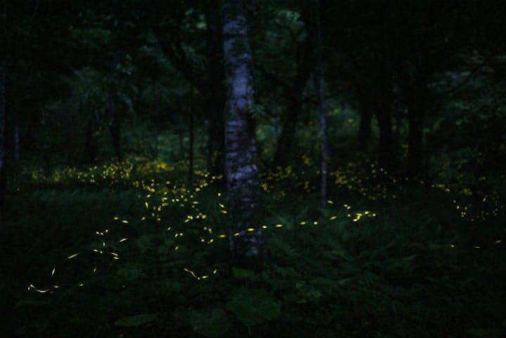石垣 島 ホタル