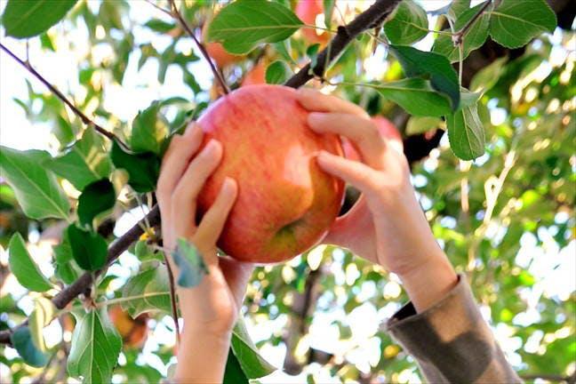 白河のりんご狩り