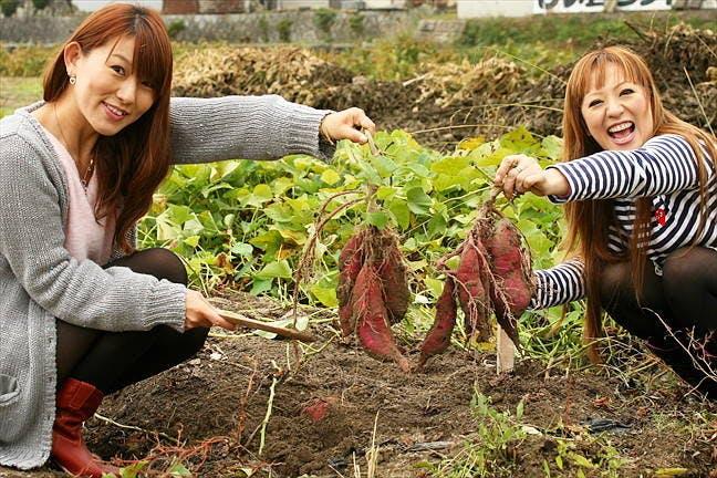 山梨県の芋掘り