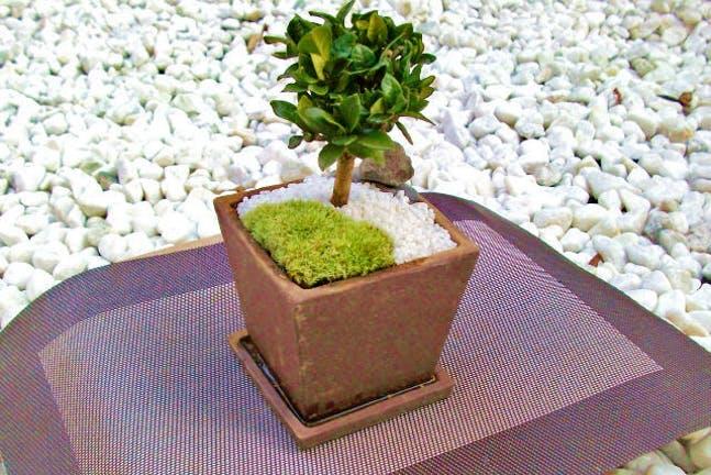 関東の苔玉作り・盆栽体験
