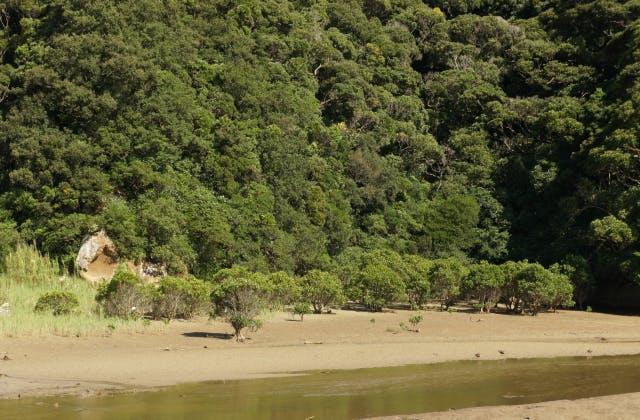 河口付近のメヒルギ群(干潮時)