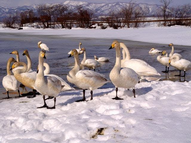 袋地沼の白鳥