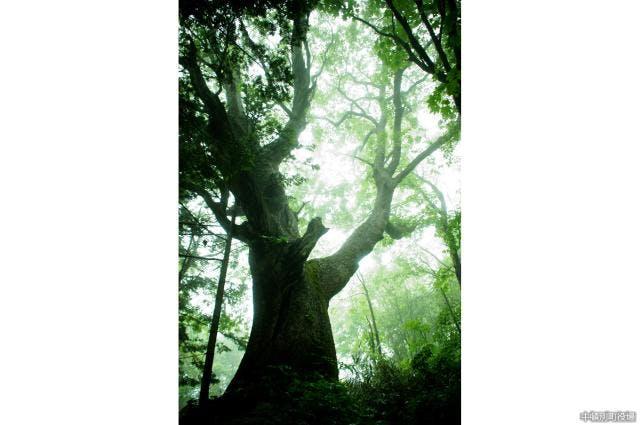 樹齢500年ミズナラ