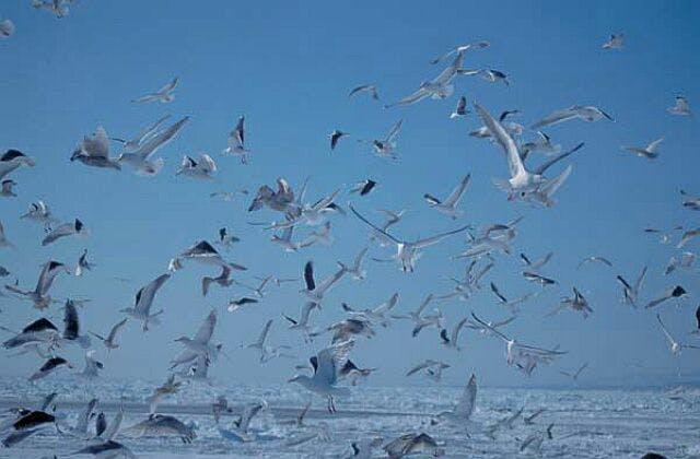 知床半島の海鳥