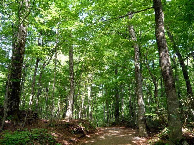 十二湖_ブナ自然林