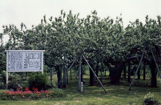 リンゴの樹