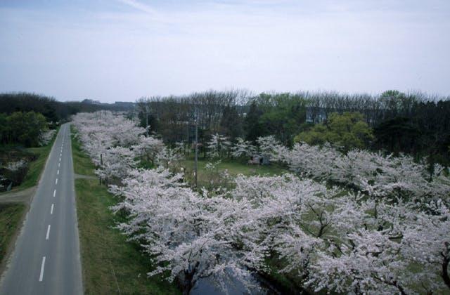 小川原湖千本桜