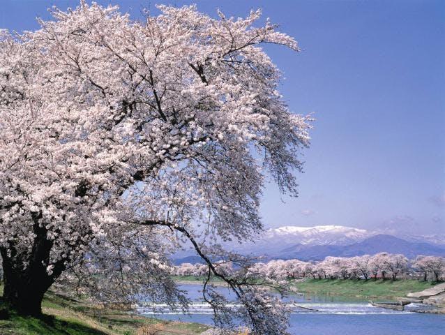 白石川堤「一目千本桜」