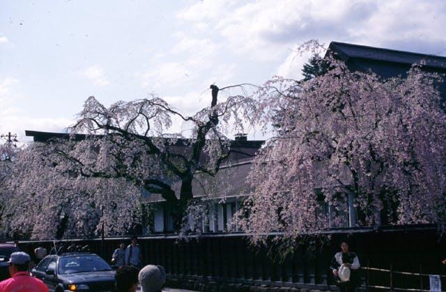 角館のしだれ桜