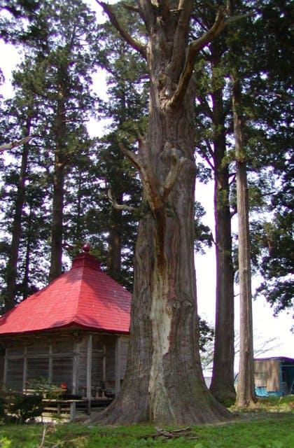 石動神社の親杉