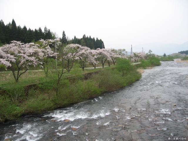 白川桜並木