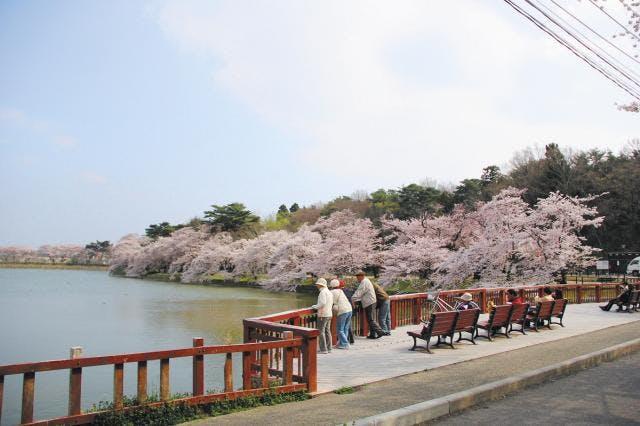 五百淵公園の桜