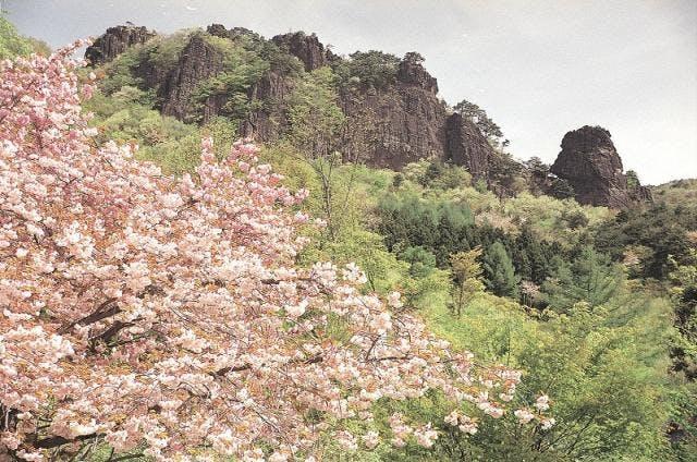 霊山の山桜