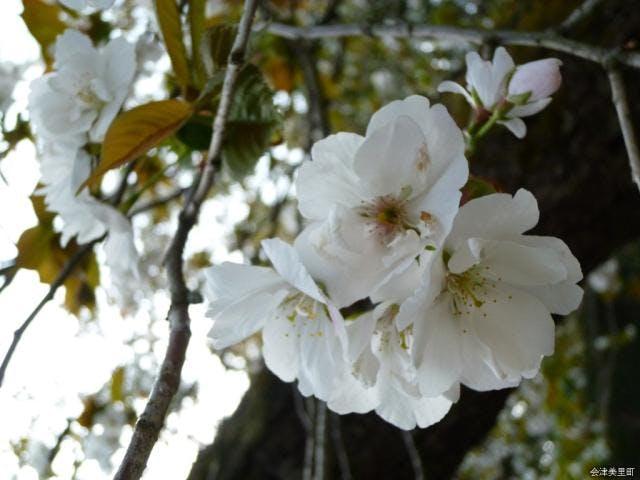 虎の尾桜2