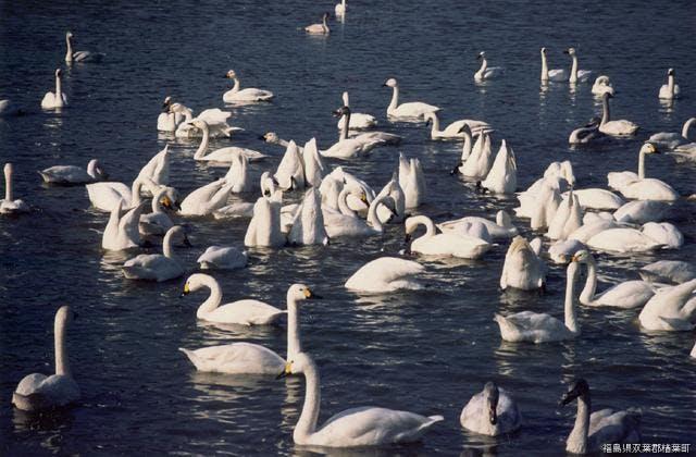 上繁岡大堤の白鳥