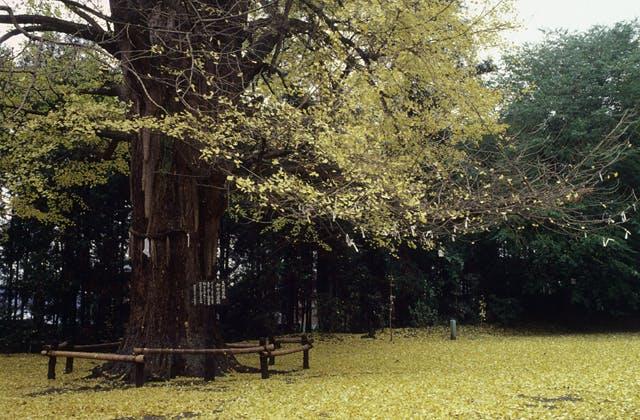 白旗山八幡宮のオハツキイチョウ