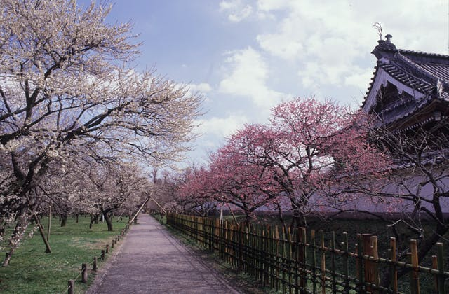 弘道館公園の梅