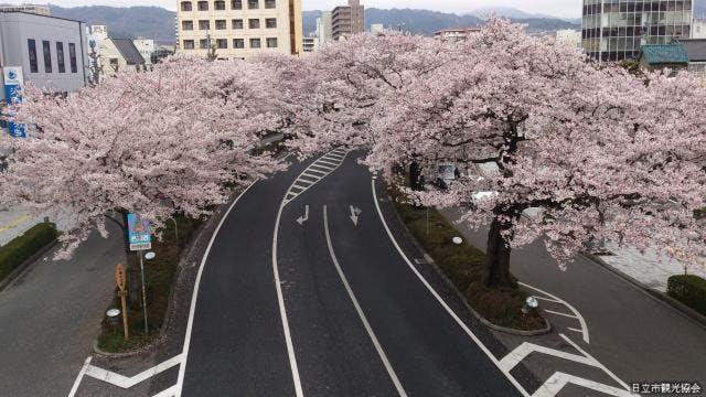 平和通りの桜(歩道橋から)