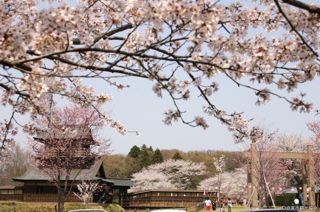 逆井城跡公園(桜)