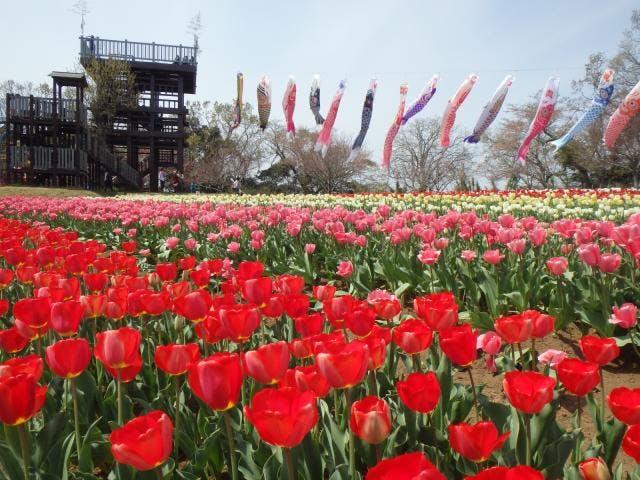 4月中旬チューリップ畑