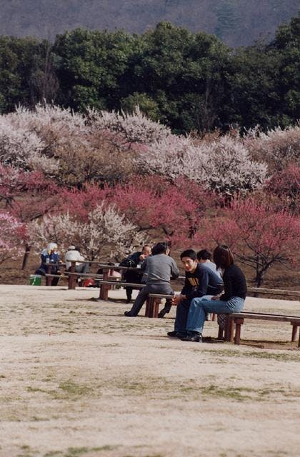 桐生市南公園の梅
