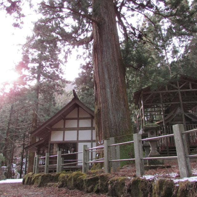 栗生神社の大杉