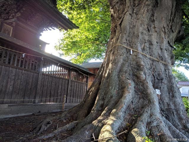 須賀神社の大ケヤキ