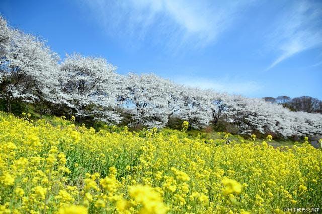 熊野神社の桜並木