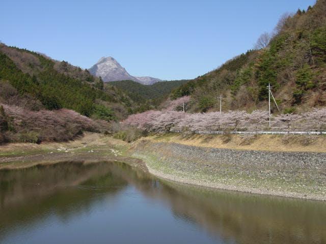 防災ダムの桜