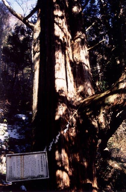 鳴尾の熊野神社大杉