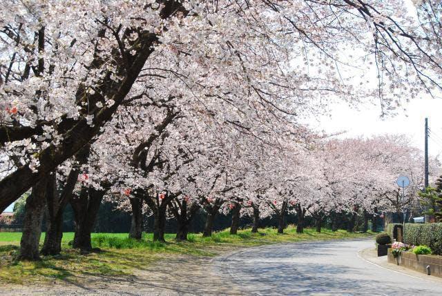 中島桜並木