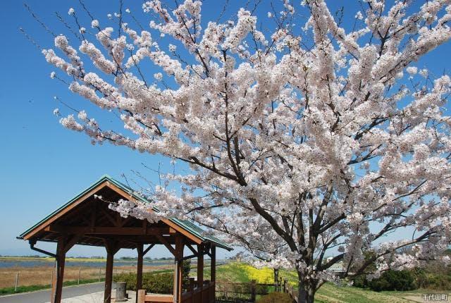 サイクリングロードの桜と菜の花