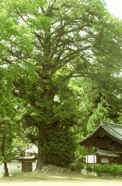 神光寺のかやの木