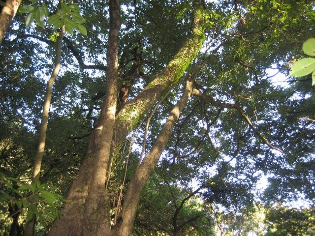 南川のウラジロカシ林