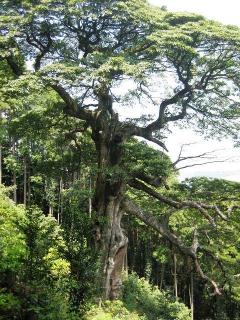 滝の入のタブの木
