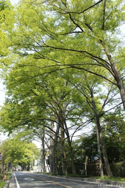 三富新田のケヤキ並木