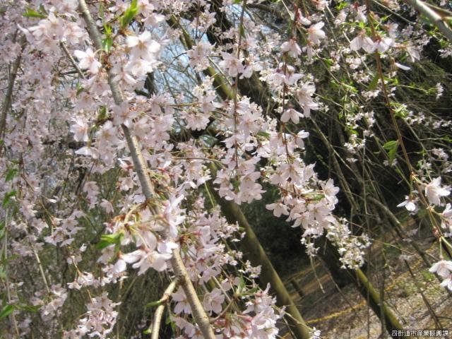 風に舞うしだれ桜