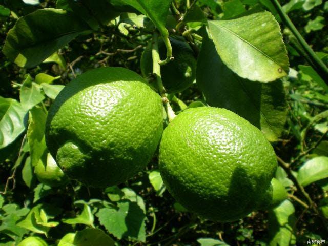 季節の柑橘狩り