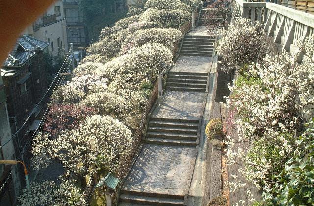 湯島天満宮の梅