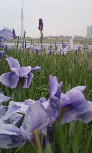 堀切水辺公園の菖蒲田よりスカイツリーを望む