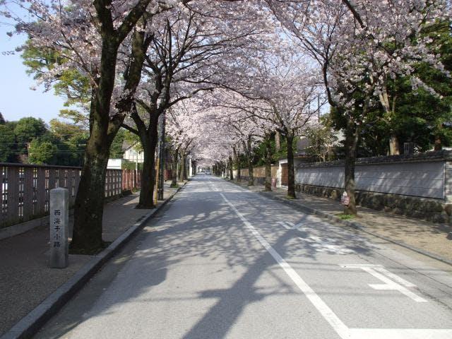 西海子小路の桜