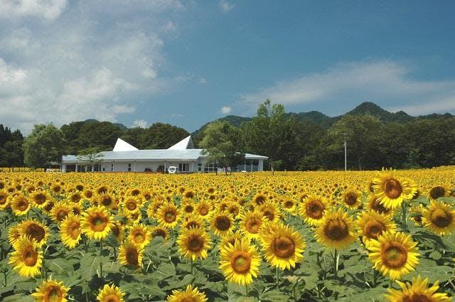 約15万本が咲き誇るヒマワリ畑