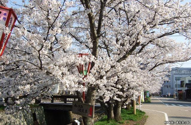 熊坂川桜並木