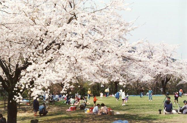 石川県林業試験場樹木公園の桜