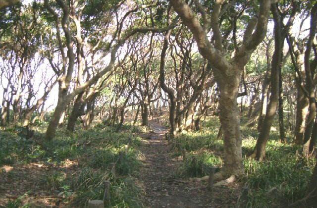 ヤブニッケイの原生林