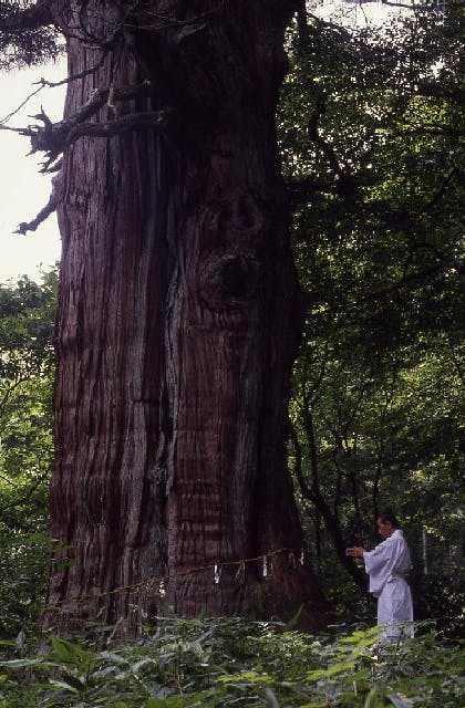 稲荷の大杉