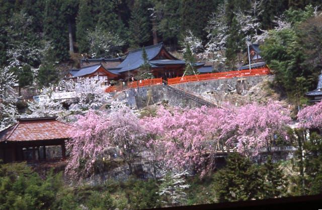 金桜神社の桜