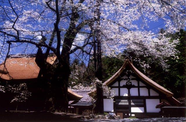 雲峰寺の桜
