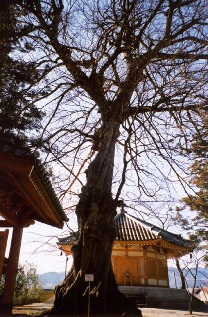 万福寺のムクノキ