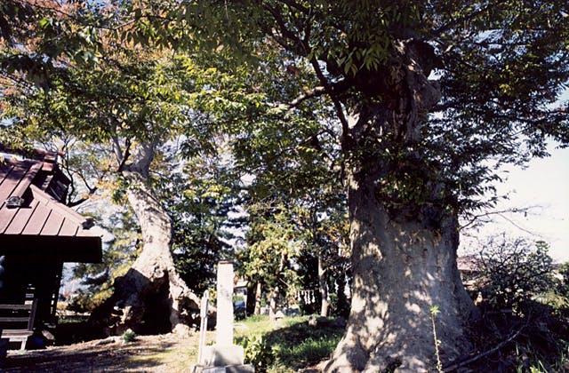 清水八幡の夫婦ケヤ木